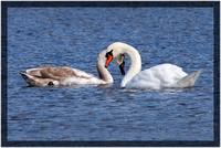 Regal Swan with Cygnet