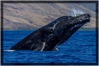 Humpback Whale Breach2