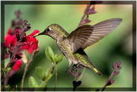 Hummingbird Collecting Salvia Nectar